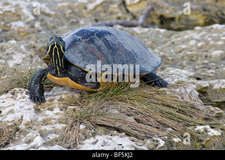 Red bellied turtle - Pseudemys nelsoni - Stock Photo