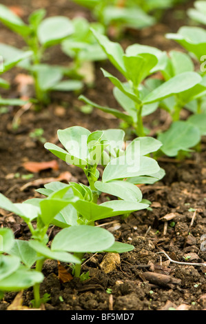Field beans sown as a green manure to improve soil fertility at Painswick Rococo Garden in the Cotswolds - Stock Photo
