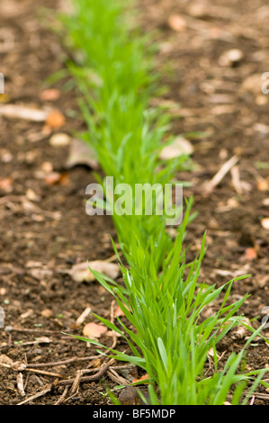 Hungarian Grazing rye sown as a green manure to improve soil fertility at Painswick Rococo Garden in the Cotswolds - Stock Photo