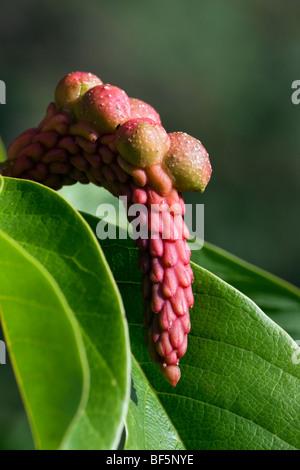 Magnolia campbellii subsp. mollicomata - ripening seedpod - Stock Photo