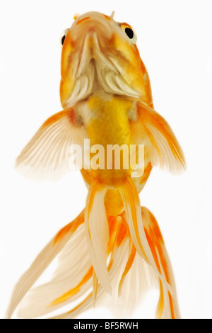 Goldfish (Carassius auratus). Fresh water fish. Variety of fancy goldfish. - Stock Photo