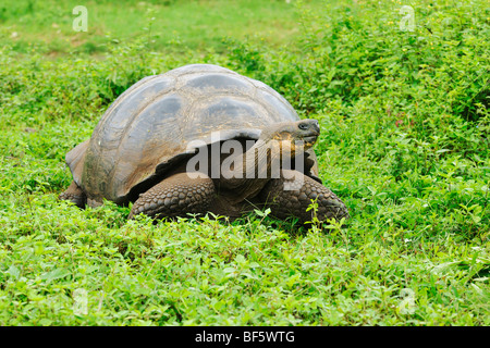Galapagos Giant Tortoise (Geochelone elephantopus), adult eating, Galapagos Islands, Ecuador, South America - Stock Photo