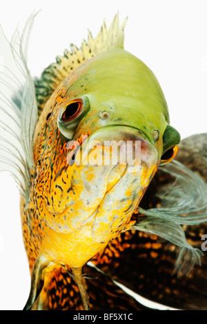 Oscar fish (Astonotus ocellatus). Tropical Freshwater fish from South America - Stock Photo