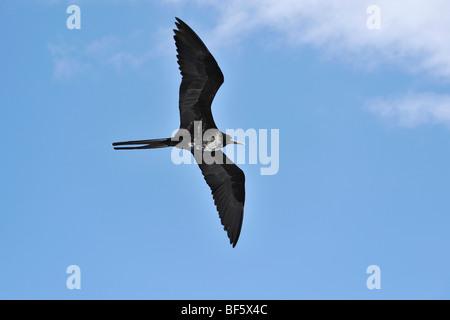 Great Frigatebird (Fregata minor), female in flight, Seymour Norte Island, Galapagos Islands, Ecuador, South America - Stock Photo