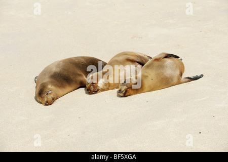 Galapagos Sea Lion (Zalophus wollebaeki), adults at beach, Espanola Island, Galapagos, Ecuador, South America - Stock Photo