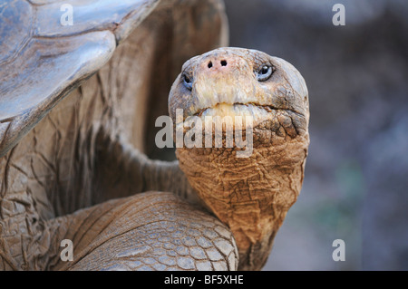 Galapagos Giant Tortoise (Geochelone elephantopus), adult, Galapagos Islands, Ecuador, South America - Stock Photo