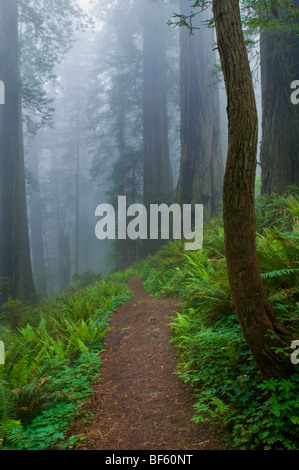 Trail through fog shrouded redwood trees in forest, Del Norte Coast Redwood State Park, California - Stock Photo