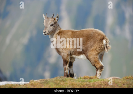 Alpine Ibex (Capra ibex), young, Niederhorn, Interlaken, Switzerland, Europe - Stock Photo