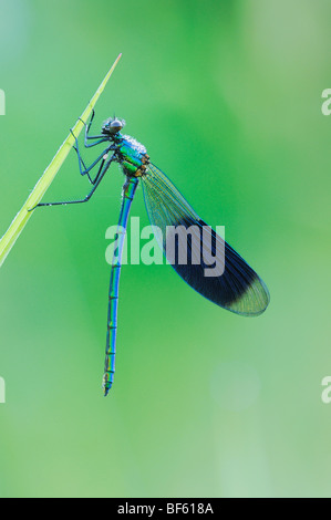 Banded Demoiselle (Calopteryx splendens), male perched dew covered, Zug, Switzerland - Stock Photo