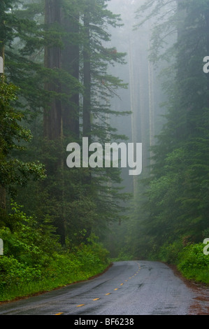 Road through Redwood trees and forest in the fog and rain, Redwood National Park, California - Stock Photo