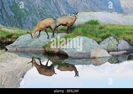 Chamois (Rupicapra rupicapra), adults with reflection in lake, Grimsel, Bern, Switzerland, Europe - Stock Photo