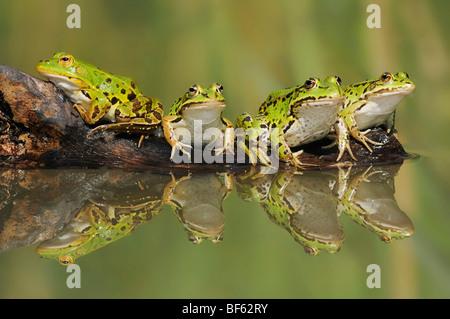 Edible Frog (Rana esculenta), adults on log, Switzerland, Europe - Stock Photo