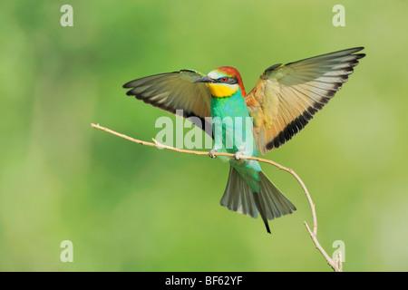 European Bee-eater (Merops apiaster), adult landing, Hungary, Europe Stock Photo