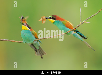 European Bee-eater (Merops apiaster), male feeding female, Hungary, Europe - Stock Photo