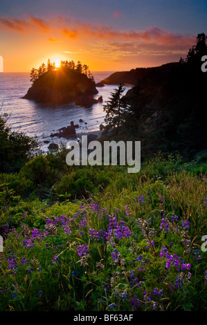 Lupine wildflowers in bloom and sunset light over Pewetole Island, Trinidad State Beach, Humboldt County, California - Stock Photo