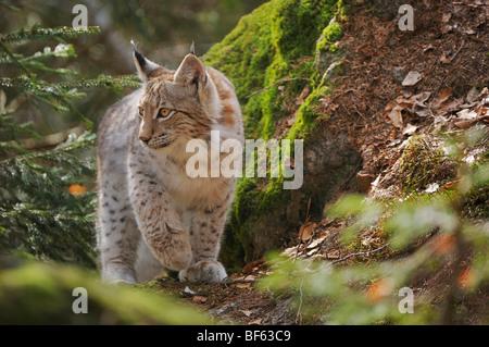 Eurasian Lynx (Lynx lynx), young sitting on rock, Switzerland, Europe - Stock Photo