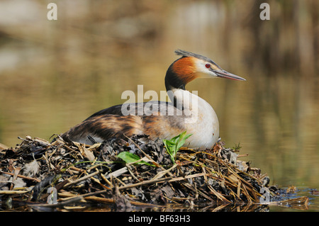 Great-crested Grebe (Podiceps cristatus), female on nest, Switzerland, Europe - Stock Photo