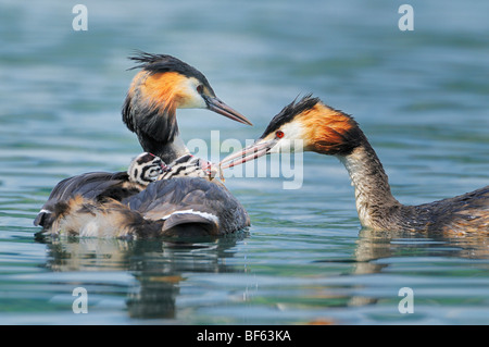 Great-crested Grebe (Podiceps cristatus), adult with young on back, Switzerland, Europe - Stock Photo