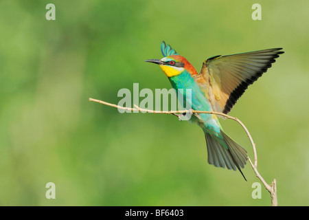 European Bee-eater (Merops apiaster), adult landing, Hungary, Europe - Stock Photo