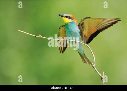 European Bee-eater (Merops apiaster), adult landing, Hungary, Europe - Stock Photo