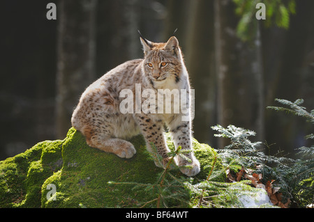 Eurasian Lynx (Lynx lynx), young sitting on rock, Switzerland, Europe - Stock Photo
