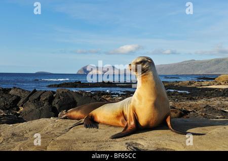 Gal pagos Sea Lion (Zalophus wollebaeki) adult, Puerto Egas Bay, Santiago Island, Galapagos Islands, Ecuador, South - Stock Photo