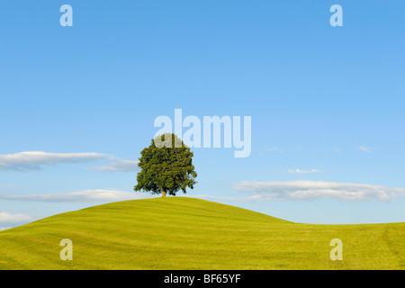 Linden tree (Tilia sp.), tree in summer, Switzerland, Europe - Stock Photo