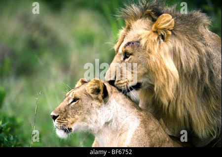 Portrait of Honeymooning Lions - Stock Photo