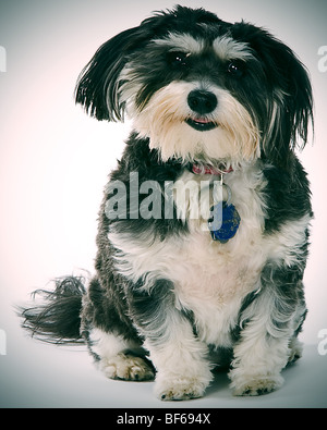 Havachon dog. Half Havanese and Half Bichon Frise. - Stock Photo