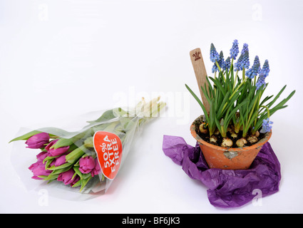 Contrasting flower gifts a bunch of tulips from a supermarket with a pot of Muscari bulbs from The Highgrove Shop - Stock Photo
