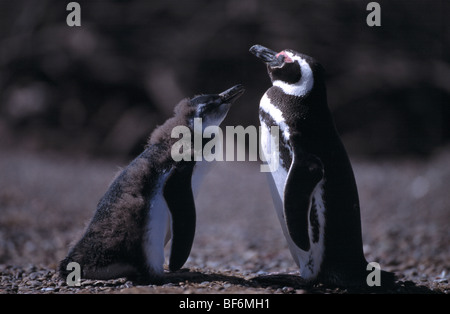 magellanic penguin, spheniscus magellanicus - Stock Photo