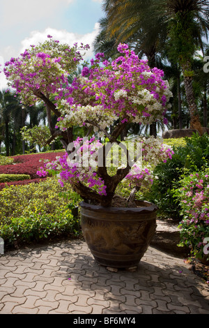 Container planting  Shrub in the French Garden at Suan Nong Nooch or NongNooch Tropical Botanical Garden Resort, - Stock Photo