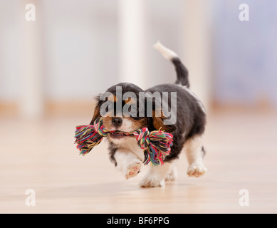 Cavalier King Charles Spaniel dog - puppy with toy - Stock Photo
