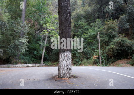 tree growing in the middle of a mountain road in the troodos mountains forest republic of cyprus - Stock Photo