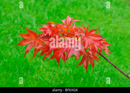 Red acer on green background - Stock Photo