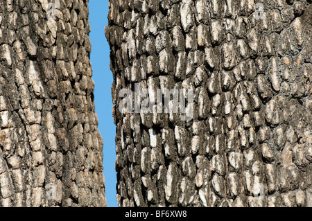 African ebony tree Jackal berry tree Diospyros mesipliformis large African tree rough bark textured bark abstract - Stock Photo
