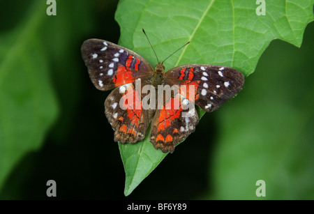 Brown Peacock or Scarlet Peacock Butterfly, Anartia amathea, Nymphalidae, aka The Coolie. - Stock Photo