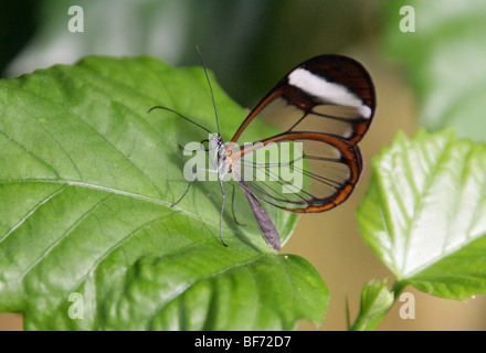 The Glass Wing Butterfly, Greta oto, Nymphalidae, South and Central America, Mexico, Panama. - Stock Photo