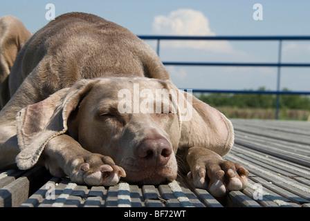 Weimaraner dog - sleeping - portrait - Stock Photo