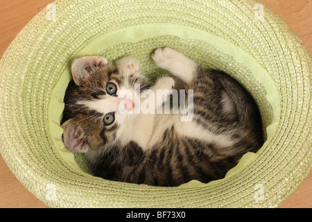 domestic cat - kitten lying in basket - Stock Photo