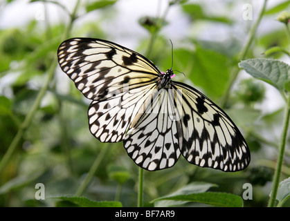 White Tree Nymph Idea leuconoe also Known as the Paper Kite or the Rice Paper Butterfly - Stock Photo