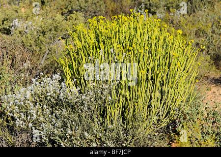 Euphorbia mauretanica in habitat, Namaqualand, South Africa - Stock Photo