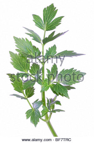 garden lovage, bladder seed (Levisticum officinale), foliage, leaves - Stock Photo