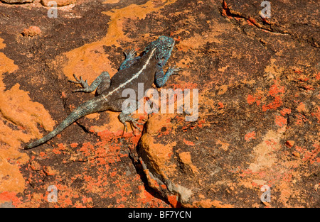 Southern Rock Agama,  Agama atra; male on lichen-covered sandstone rock, Cederberg Mountains, South Africa - Stock Photo