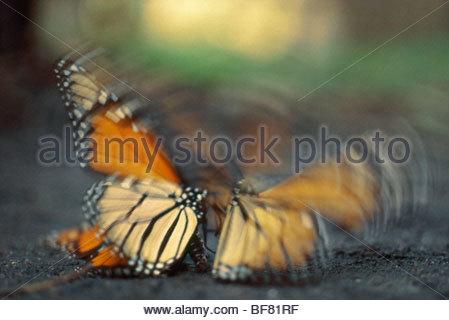 Monarch butterflies courtship struggle, Danaus plexippus, Montery Bay - Stock Photo