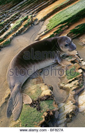 Northern elephant seal, Mirounga angustirostris, Ano Nuevo State Reserve, California - Stock Photo