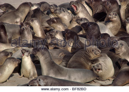Northern elephant seals, Mirounga angustirostris, Ano Nuevo State Reserve, California - Stock Photo