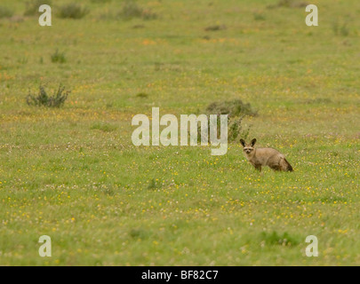 Bat-Eared Fox Otocyon megalotis in the Postberg reserve, South Africa - Stock Photo