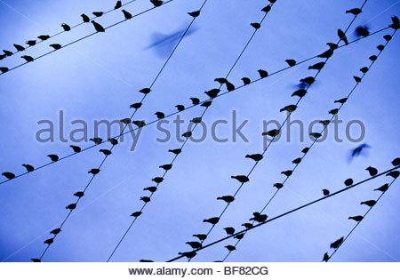 Birds resting on power lines, Monterey Bay, California - Stock Photo