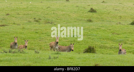 Cape Mountain Zebra, Equus zebra ssp. zebra, Postberg, West Coast National Park, South Africa - Stock Photo